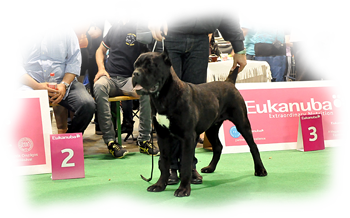 Gvido Jr. Corso Di Munteanu become a VICE PUPPY WORLD WINNER 2013