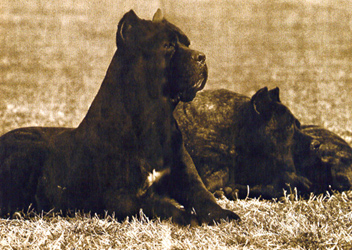 History of the Cane Corso